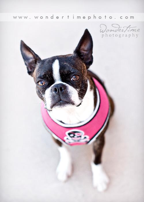 Dog Portraits Tucson